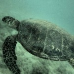 turtle by Rhonwyn